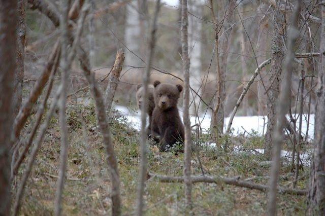 Медведи проснулись после зимней спячки в Керженском заповеднике - фото 1
