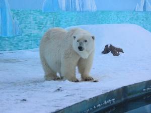 Белая медведица Симона впервые отпраздновала день рождения в Нижнем Новгороде