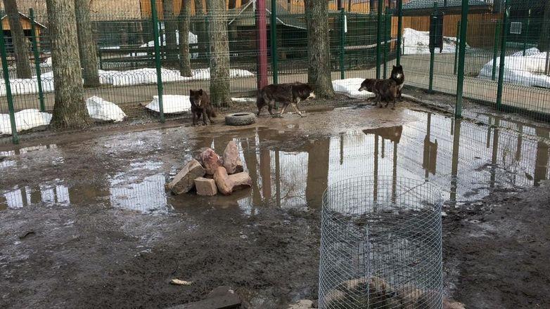 Вольер с волками затопило в балахнинском зоопарке - фото 2