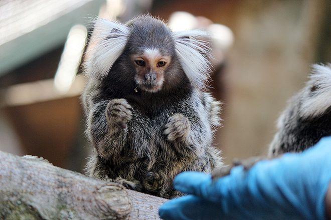 Маленькие игрунки появились на свет в нижегородском зоопарке - фото 2