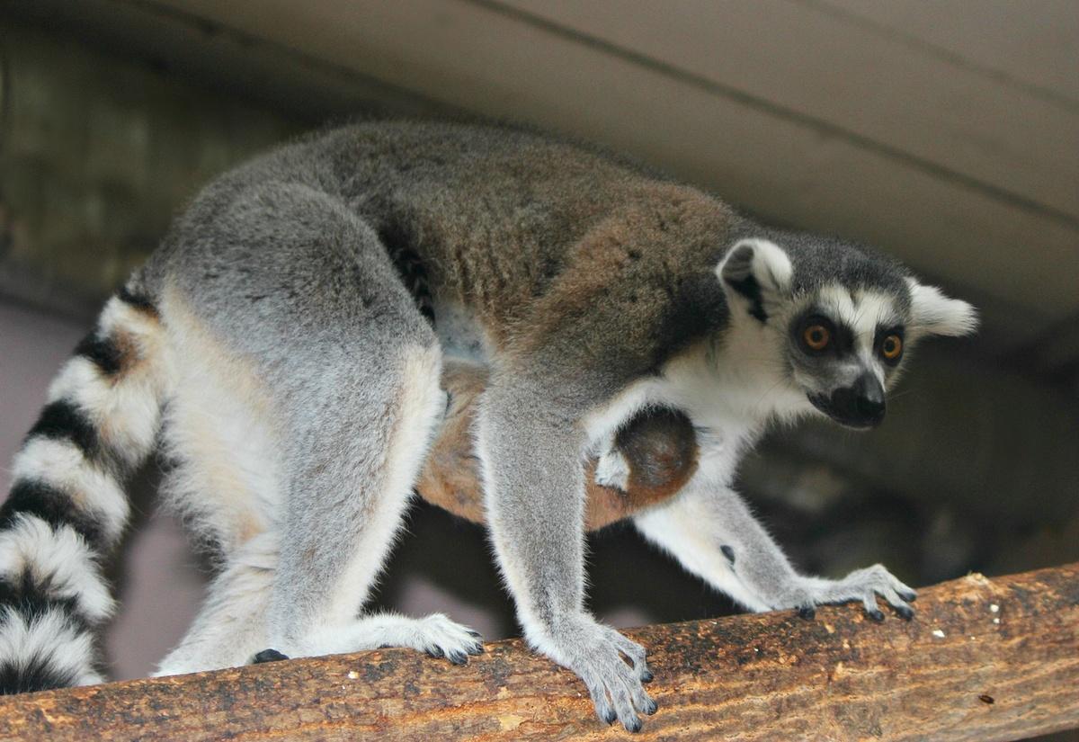 Кошачий лемур родился в нижегородском зоопарке - фото 1